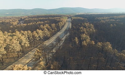 Burnt pine tree forest with road and car, aerial view