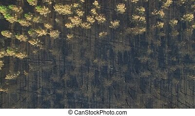Burnt pine tree forest, zenithal view, 4K - Top view of...