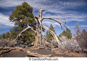 Burnt tree at Sunset Crater National Monument