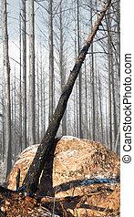 burnt tree in winter