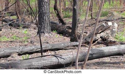 Burnt tree trunks on ground.