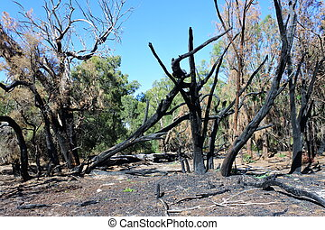 Burnt trees after controlled bush fire