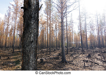 Burnt trees after forest fire