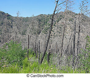 burnt trees after the fire