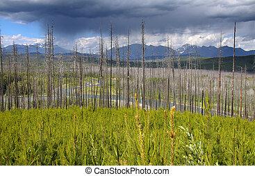 Burnt trees in Glacier  park
