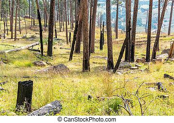 Burnt Trees in Wyoming