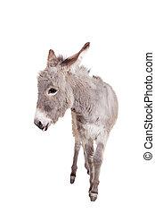 burro, blanco