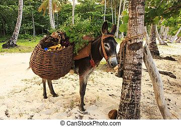 burro, em, las, galeras, praia, samana, península