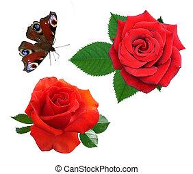 burro, fiori, rose, isolato, esso