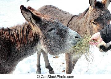 burro, homem, alimentação