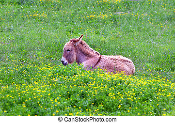 Burro in the Grass - Baby burrow lies in the deep green...