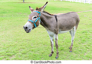 Burro or donkey standing on lawn
