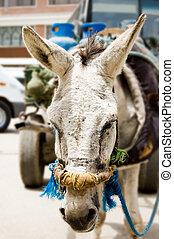 burro, primer plano