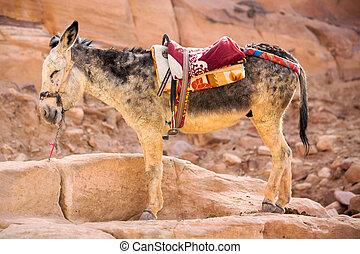 Burro - Standing donkey in Petra, Jordan