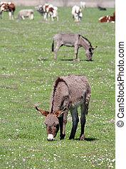 burros, en, pasto, granja, escena