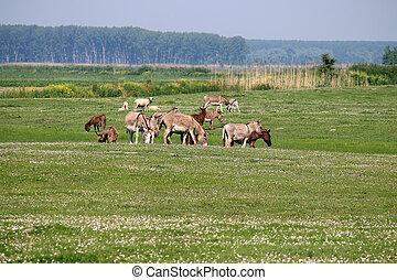 burros, en, pasto, verano, estación