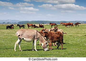 burros, pasto, cavalos