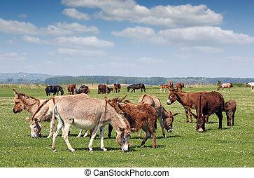 burros, pasto, estação mola