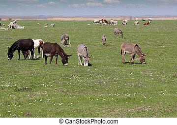 burros, vacas, pasto