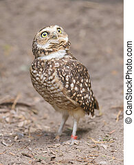 Burrowing owl (Athene cunicularia) in captivity