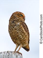 Burrowing Owl - Burrowing owl on a fence post. Athene ...