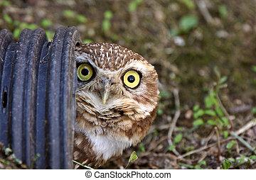 Burrowing Owl in culvert