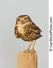 Burrowing Owl perched on a fence post - California