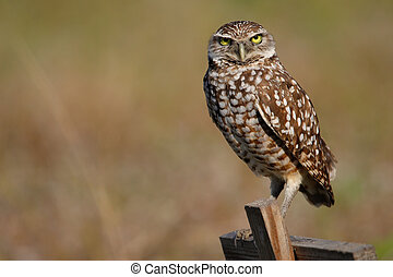 Burrowing Owl sitting on a wooden pole