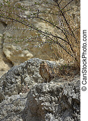 Burrowing Owl Standing on Lava Rock in Aruba - Burrowing owl...