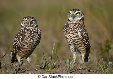 Burrowing Owls standing on the ground - Burrowing Owls (...