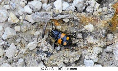 burying beetle