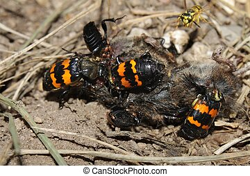 Burying Beetles (Nicrophorus orbicollis) on a dead mouse at ...