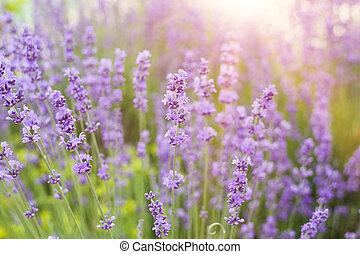 busch, lavendel, closeup.