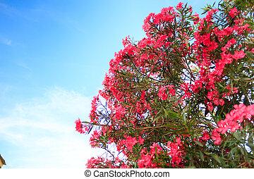 busch, oleander, rosa blüten, blühen