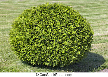 busch, von, zypresse, schnitt, in, der, form, von, a, kugelförmig