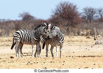 busch, zebra, afrikanisch