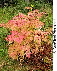 Bush aruncus dioicus in autumn