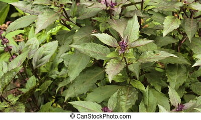 Bush basil purple growing in the garden.