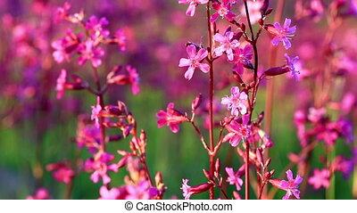 Bush blossoming Silene armeria - Silene armeria flowers are...