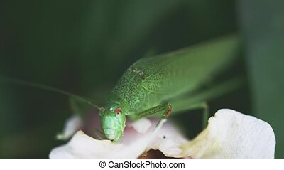 bush-cricket, alimentation, pétale, grand, blanc vert