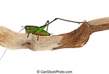 Bush cricket insect