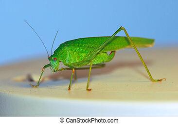 bush-cricket