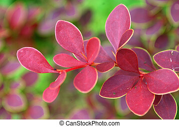 Bush decorative barberry