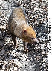 Bush dog (Speothos venaticus)