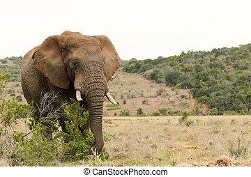Bush Elephant grabbing a branch
