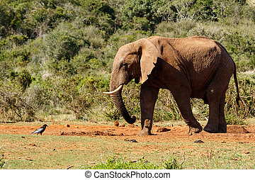 Bush Elephant staring at the bird