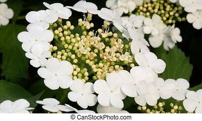 bush guelder rose Viburnum tinus sunny day 4k