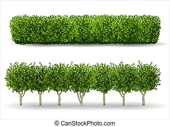 Bush in the form of a green hedge. Ornamental plant. The...