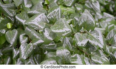 bush leafs under rain - fresh green bush leaf under rain by...