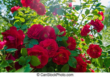 Bush of a fluffy red roses in sunny day. Romantic florets on green leaves background in lush garden. Close up of bushes with full blooms on shrubs branch. Magenta flowers for decorating any holiday